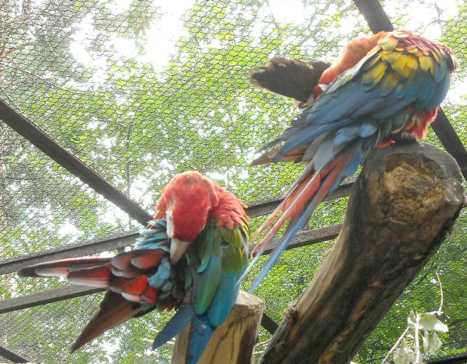 Красный ара - Ara macao  (фото 6565)