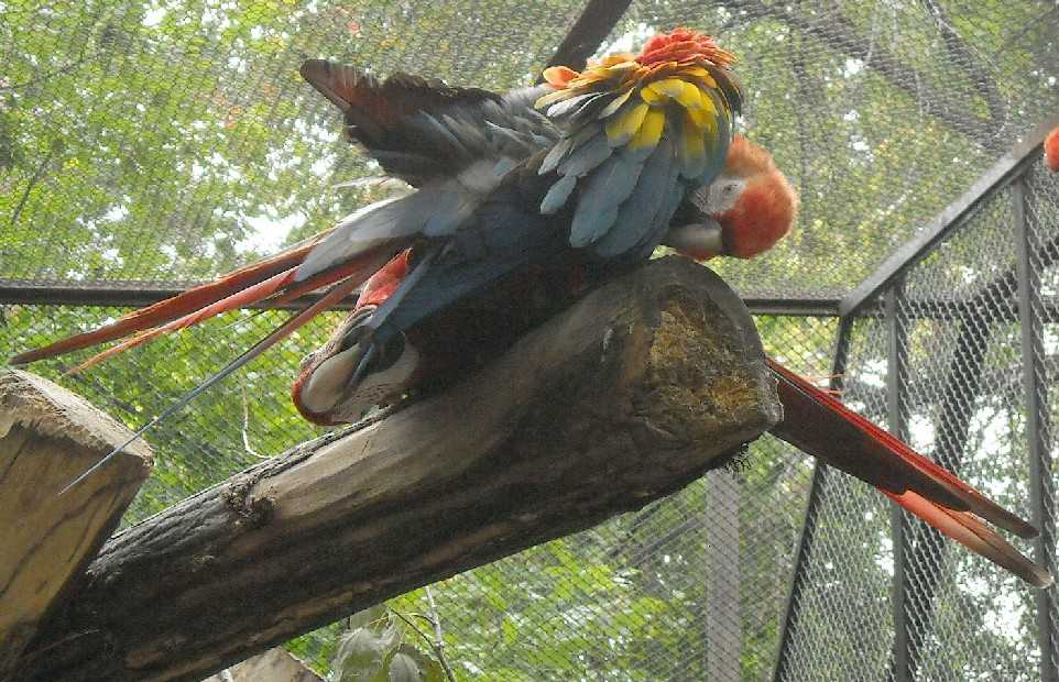Красный ара - Ara macao  (фото 6566)