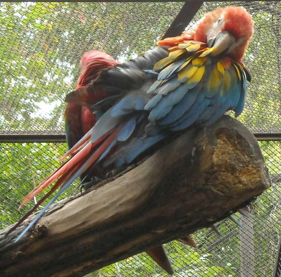 Красный ара - Ara macao  (фото 6567)