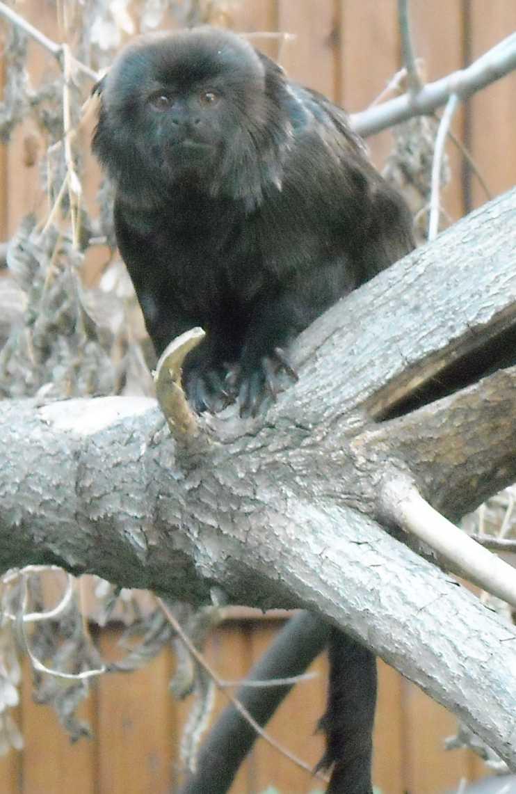 Гельдиевая мармозетка - Callimico goeldii  (фото 7215)