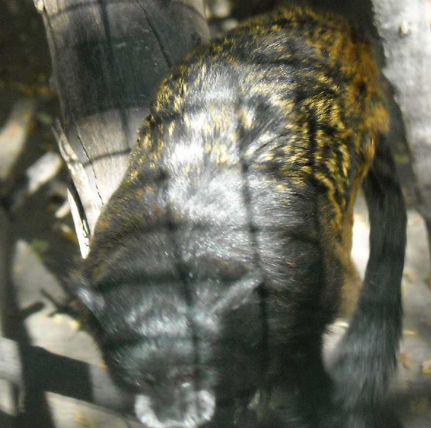 Буроголовый тамарин - Saguinus fuscicollis  (фото 7224)