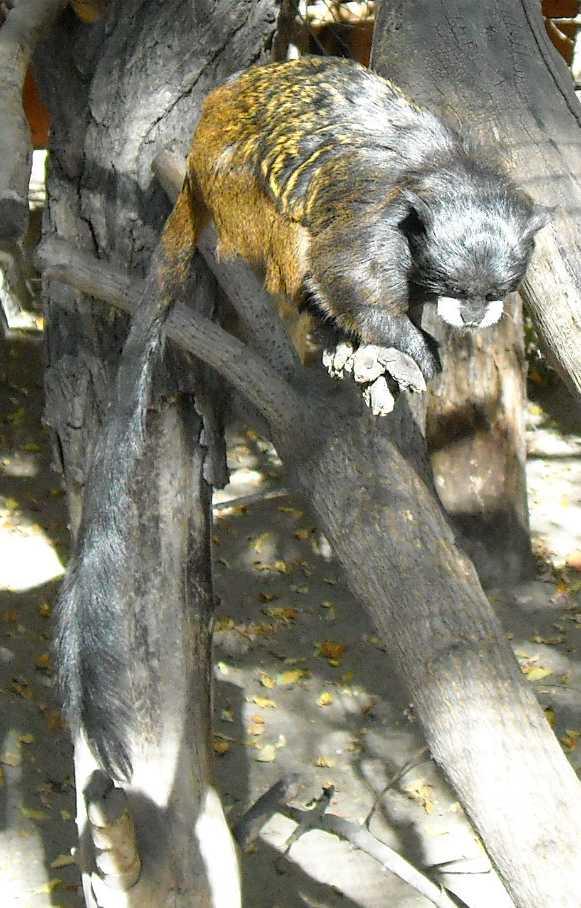Буроголовый тамарин - Saguinus fuscicollis  (фото 7228)