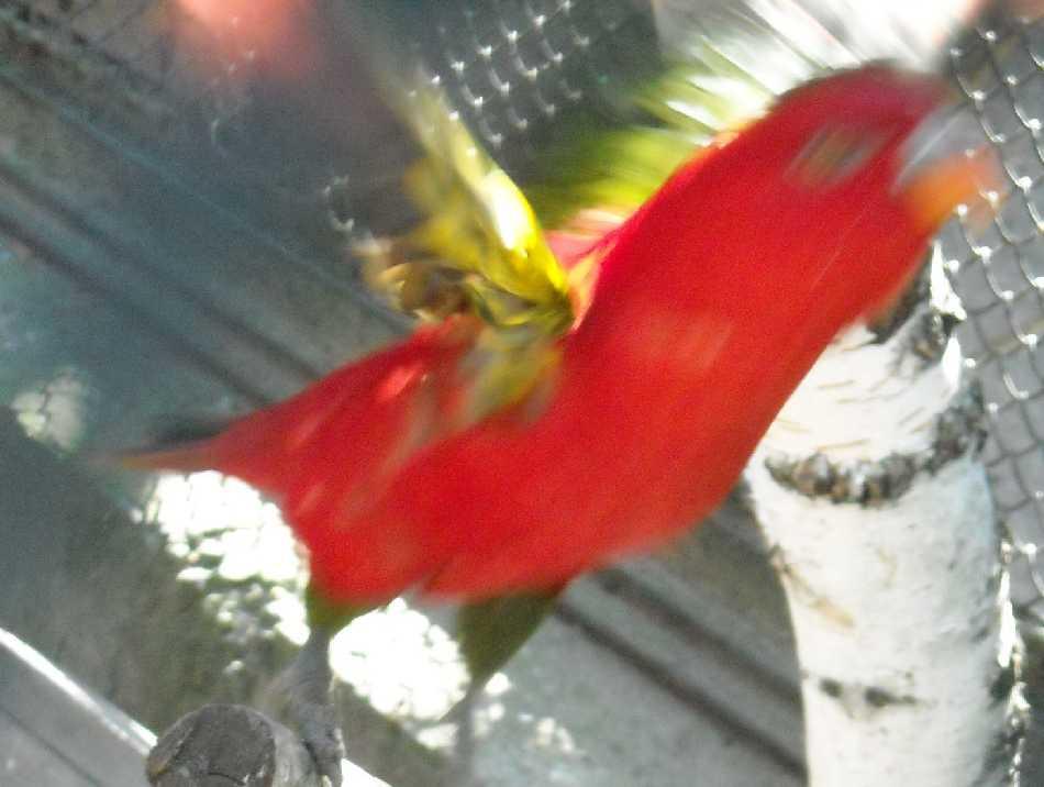 Лори желтоспинный - Lorius garrulus  (фото 7255)