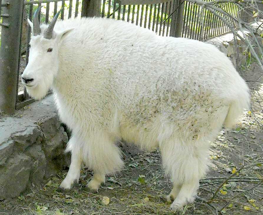 Снежная коза - Oreamnos americanus  (фото 7391)