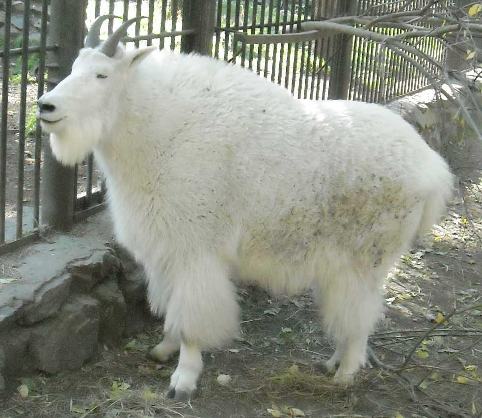 Снежная коза - Oreamnos americanus  (фото 7392)