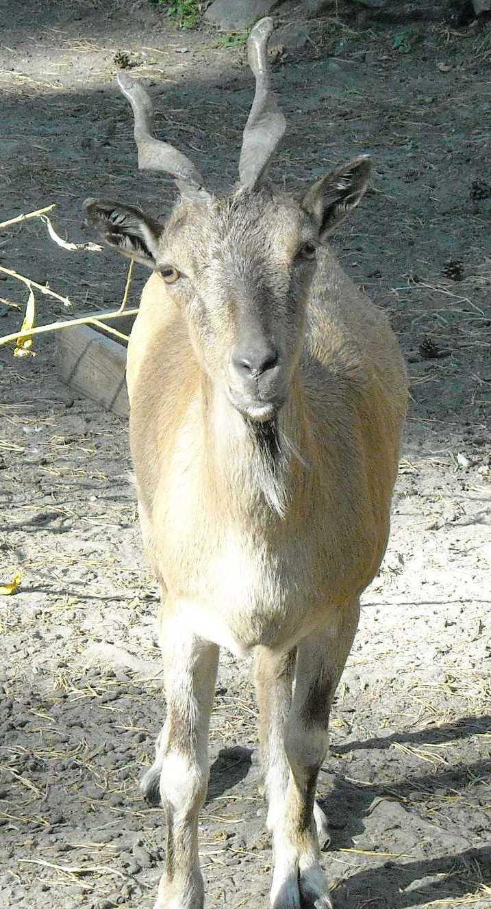 винторогий козел - Capra falconeri heptneri  (фото 7503)