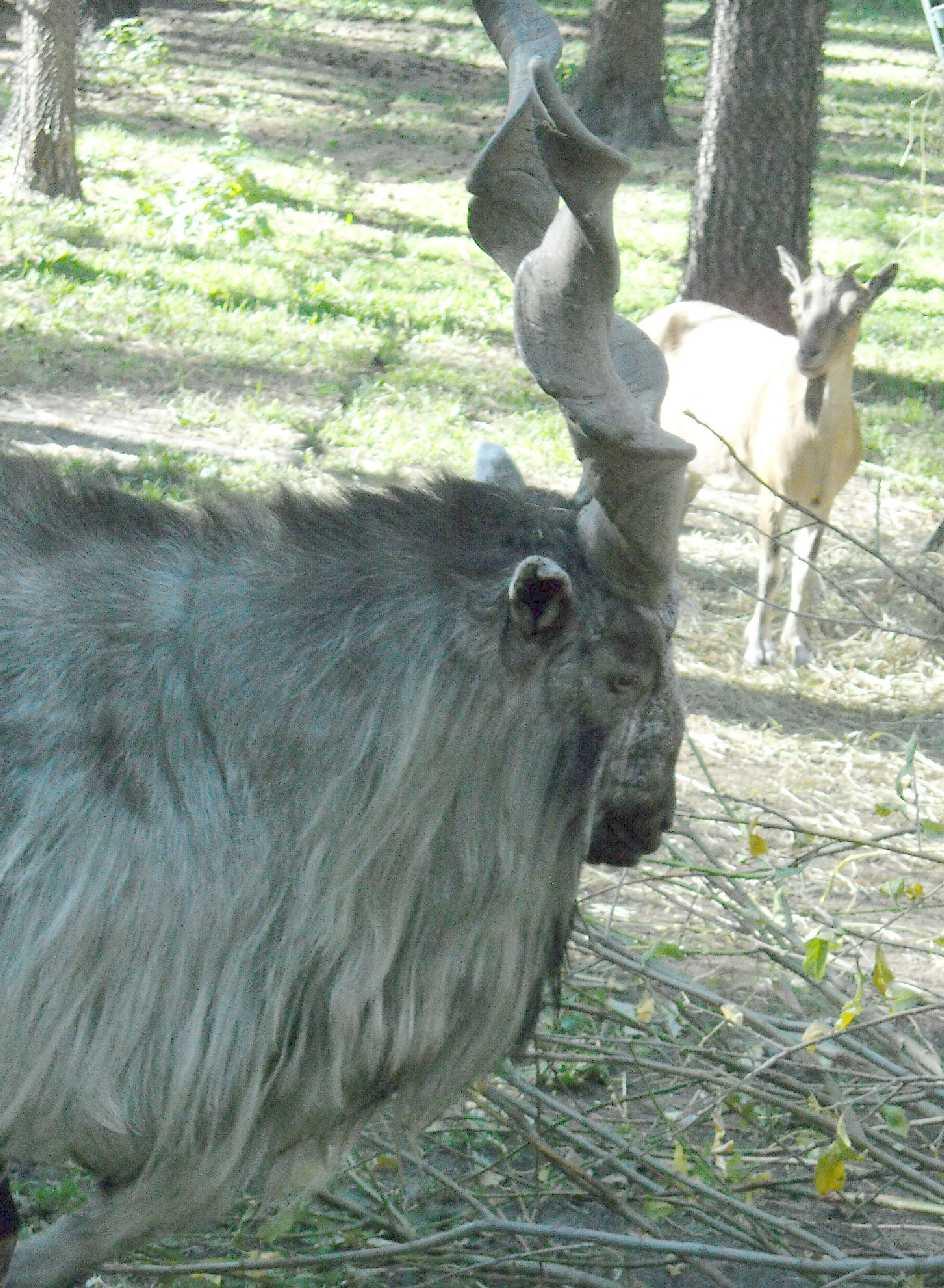 винторогий козел - Capra falconeri heptneri  (фото 7507)