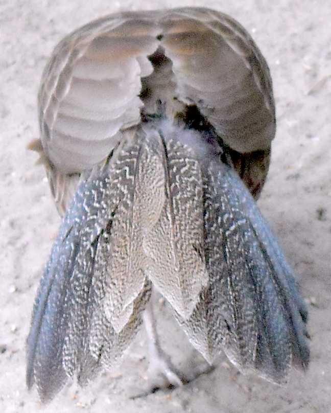 Фазан полосатый - Lophura nycthemera lineata  (фото 7595)