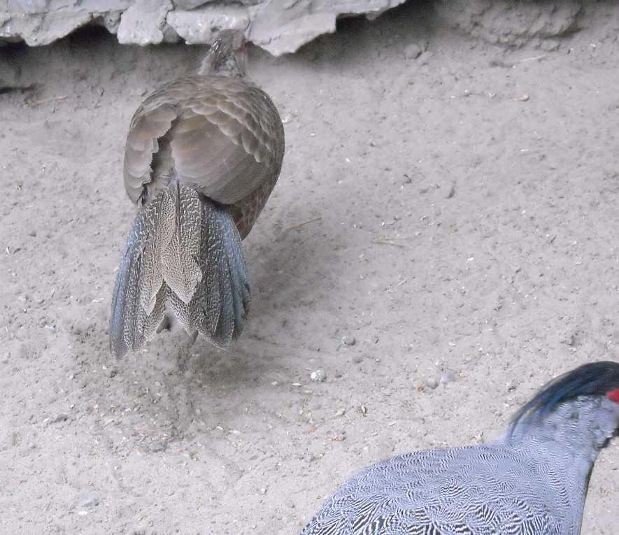 Фазан полосатый - Lophura nycthemera lineata  (фото 7596)