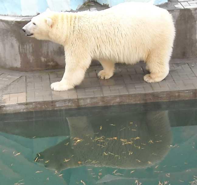 Белый медведь - Ursus maritimus  (фото 7629)