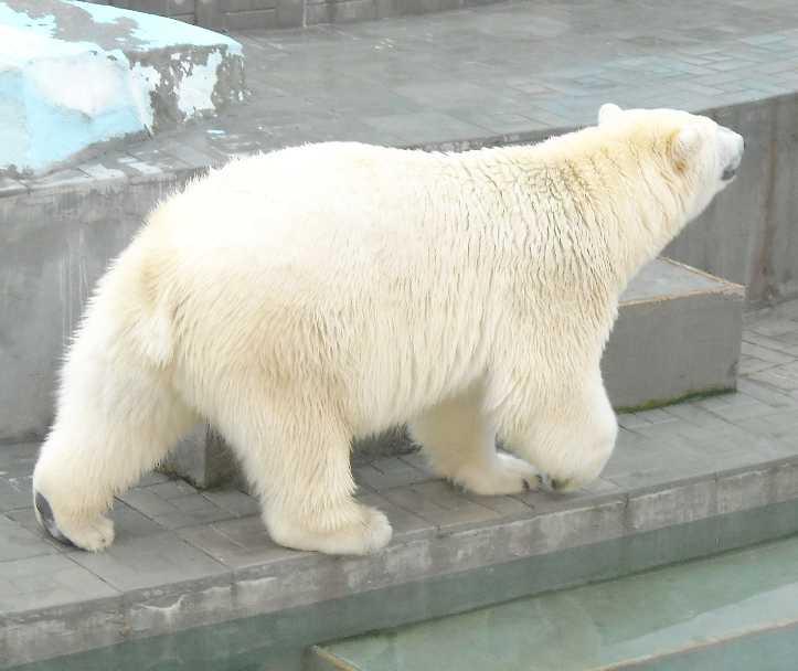 Белый медведь - Ursus maritimus  (фото 7630)