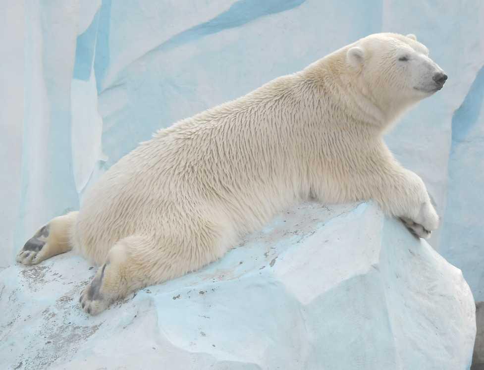 Белый медведь - Ursus maritimus  (фото 7631)