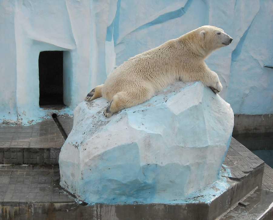 Белый медведь - Ursus maritimus  (фото 7632)