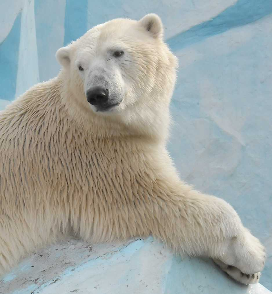 Белый медведь - Ursus maritimus  (фото 7634)