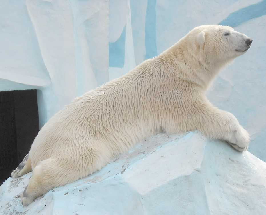 Белый медведь - Ursus maritimus  (фото 7635)