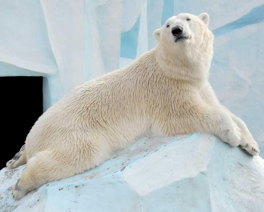Белый медведь - Ursus maritimus  (фото 7636)
