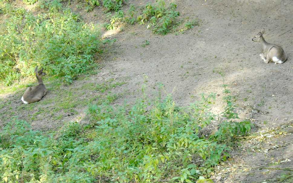 Сибирская косуля - Capreolus (capreolus) pygargus  (фото 7668)