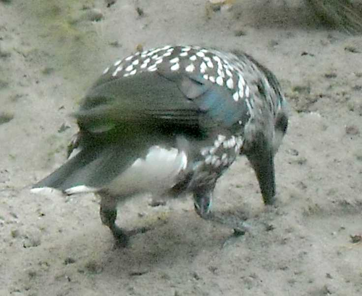 Кедровка - Nucifraga caryocatactes  (фото 7802)