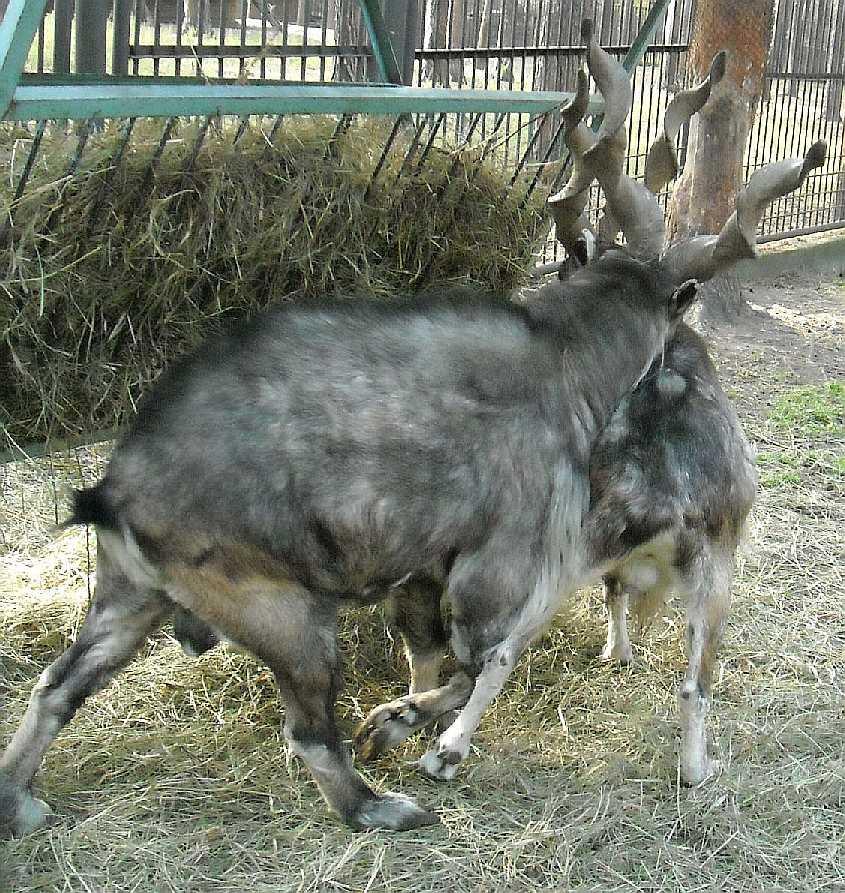 винторогий козел - Capra falconeri heptneri  (фото 7823)