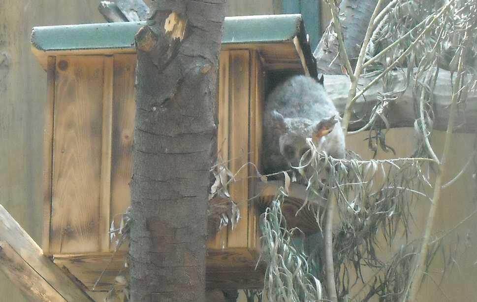 Толстохвостый галаго - Otolemur (Galago) crassicaudatus  (фото 7878)