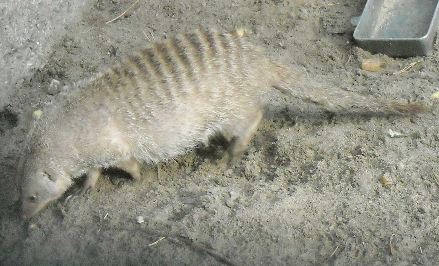 Полосатый мангуст - Mungos mungo  (фото 7993)