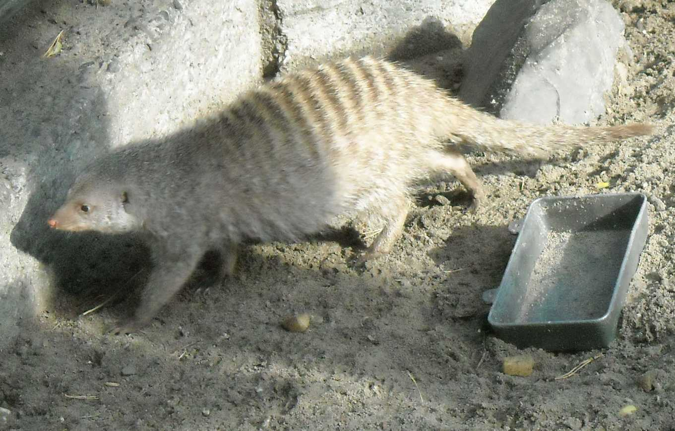 Полосатый мангуст - Mungos mungo  (фото 7996)