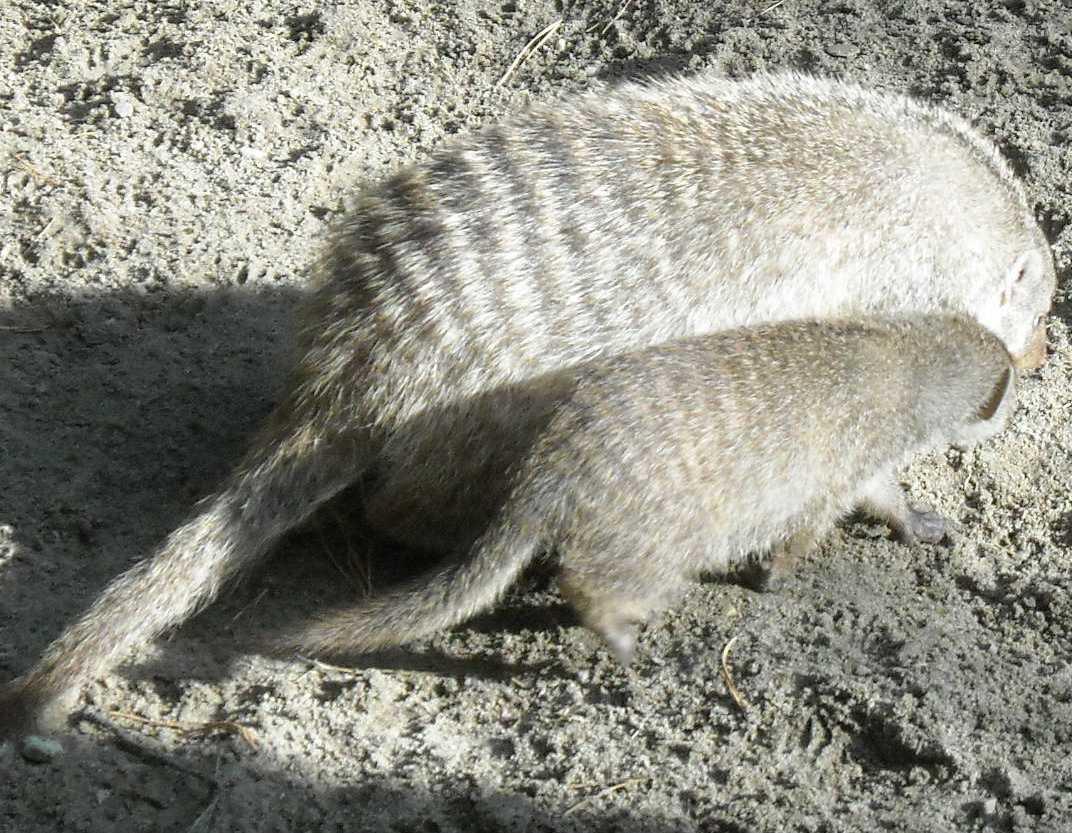 Полосатый мангуст - Mungos mungo  (фото 8001)