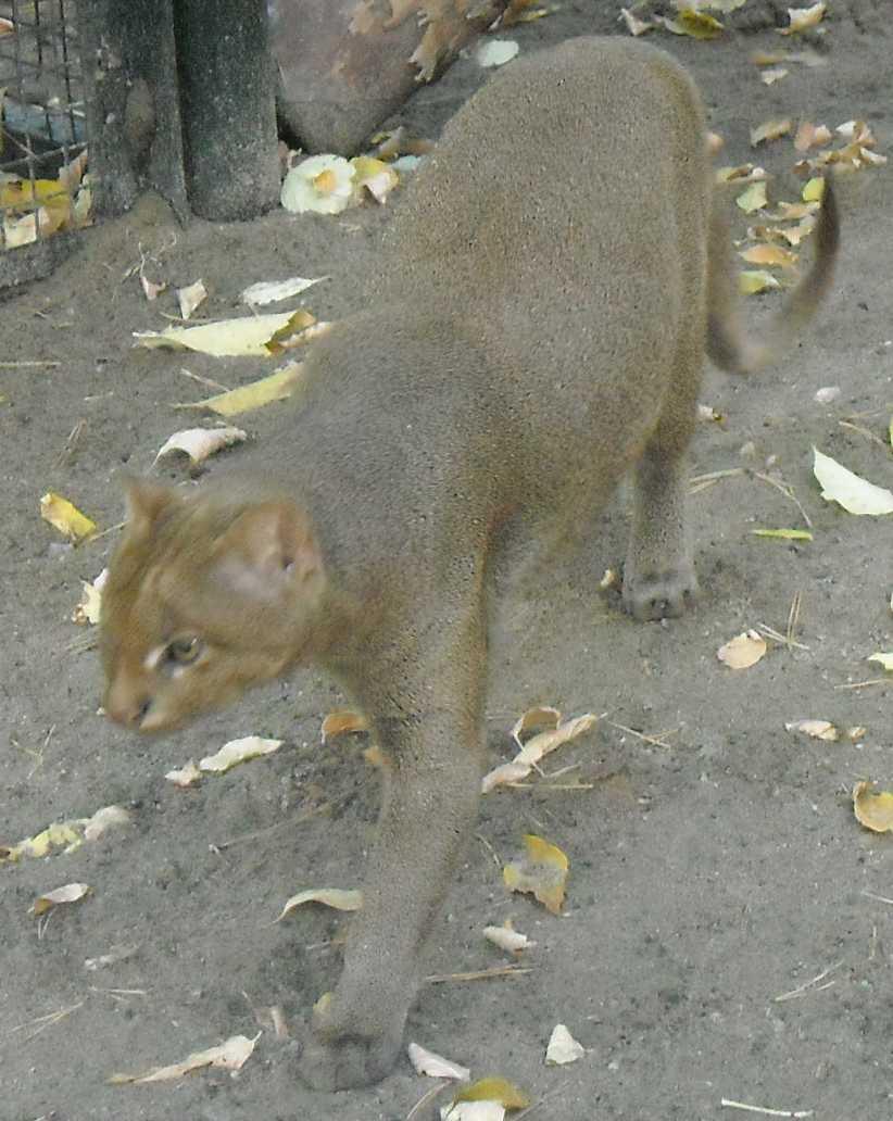 ягуарунди