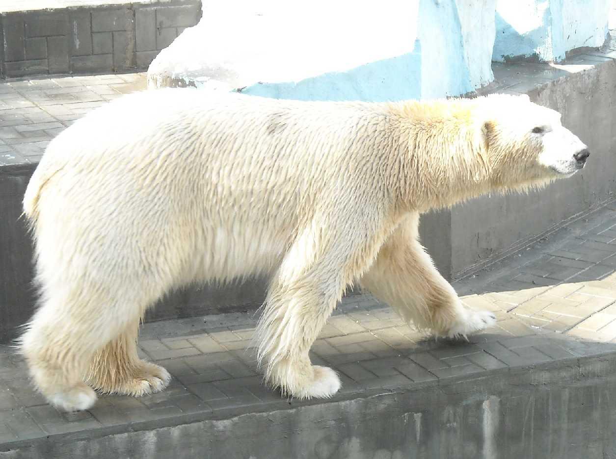 Белый медведь - Ursus maritimus  (фото 8146)