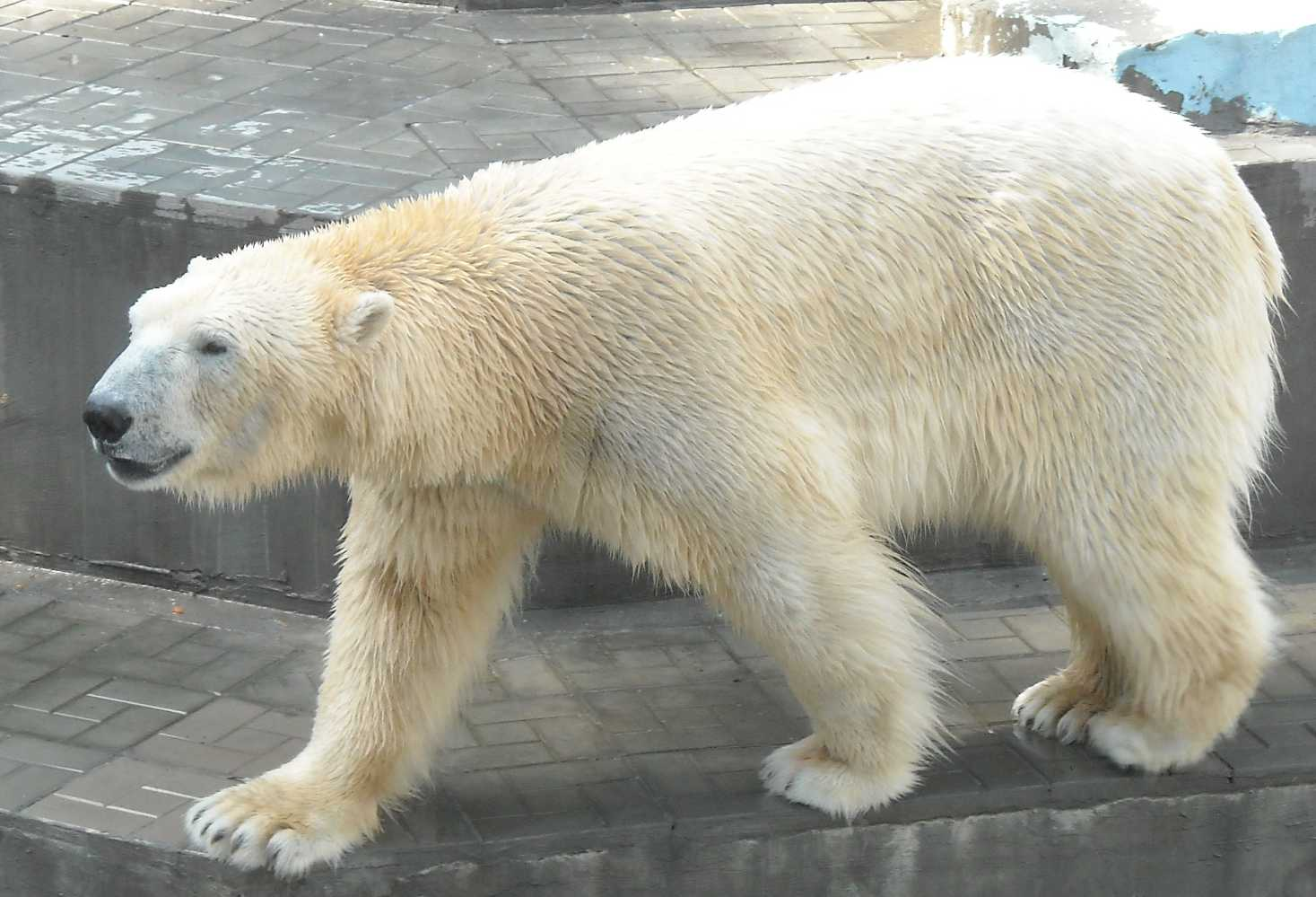 Белый медведь - Ursus maritimus  (фото 8147)