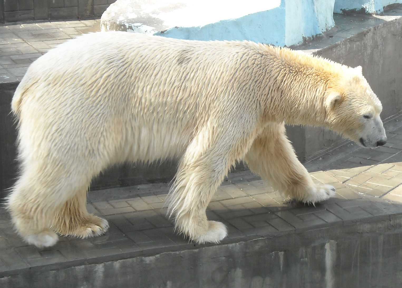 Белый медведь - Ursus maritimus  (фото 8148)