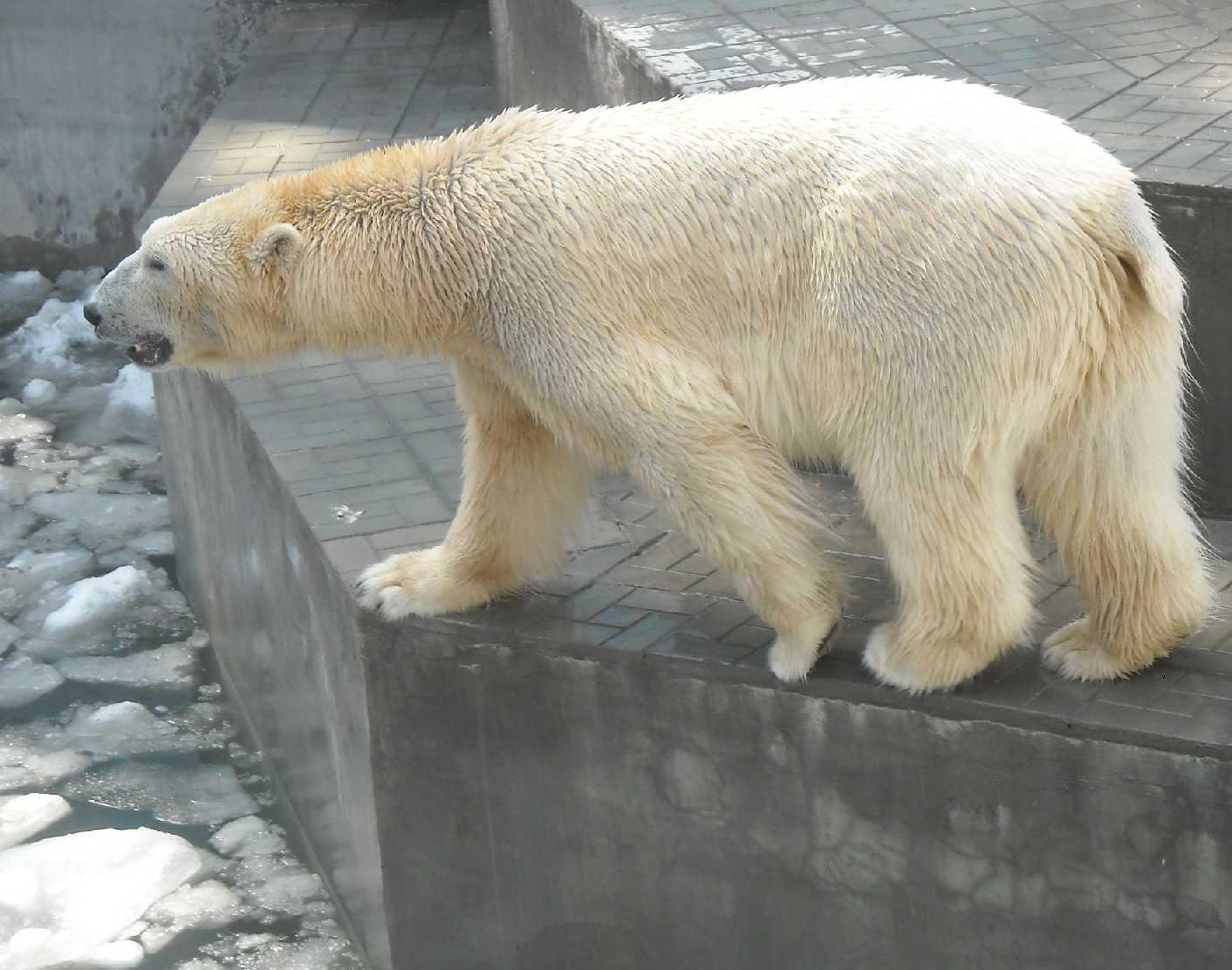 Белый медведь - Ursus maritimus  (фото 8149)