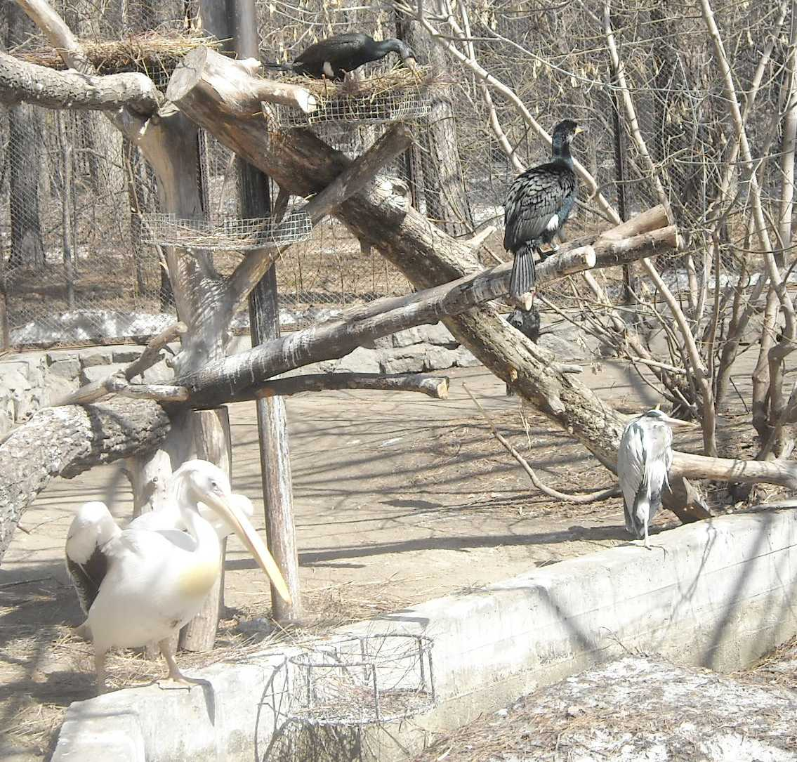 Баклан большой - Phalacrocorax carbo  (фото 8199)