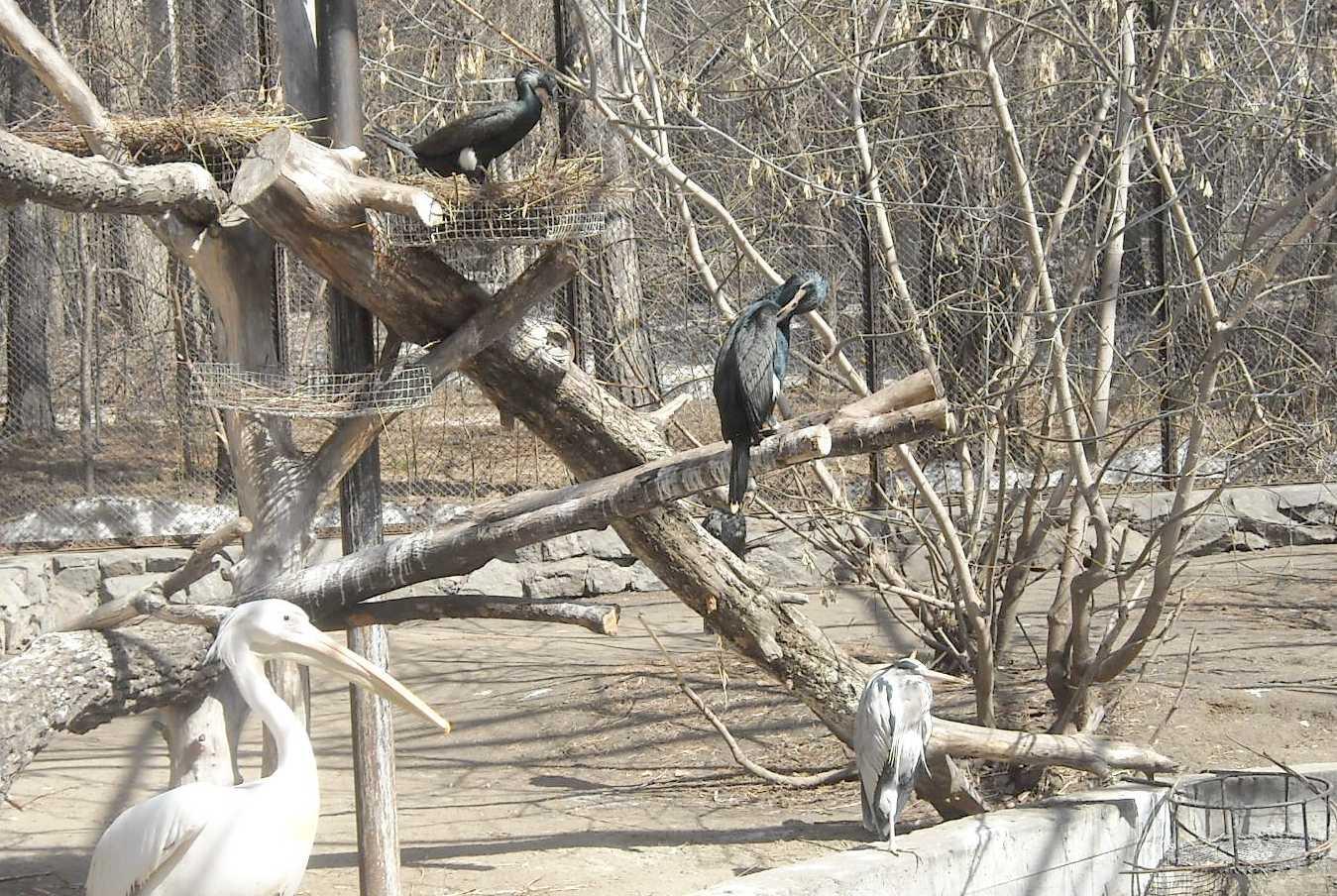 Баклан большой - Phalacrocorax carbo  (фото 8200)