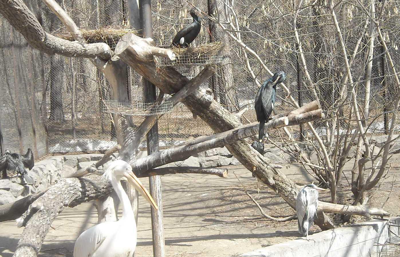 Баклан большой - Phalacrocorax carbo  (фото 8201)