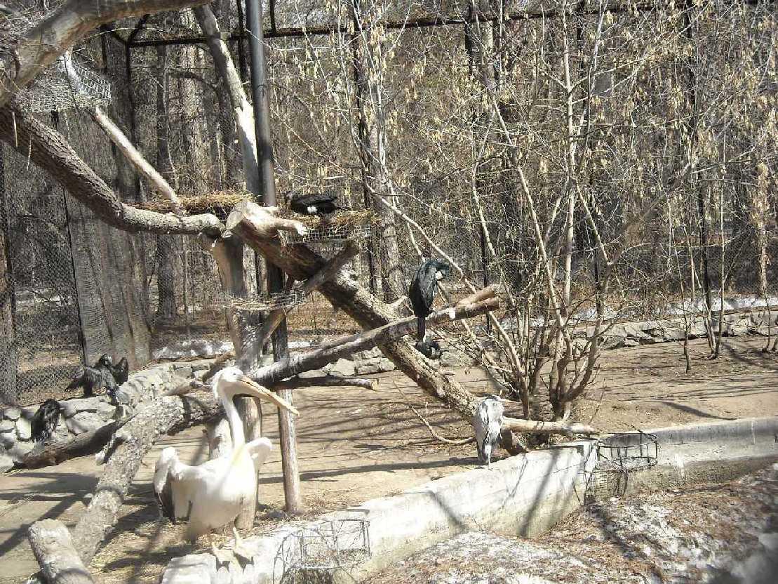 Баклан большой - Phalacrocorax carbo  (фото 8202)