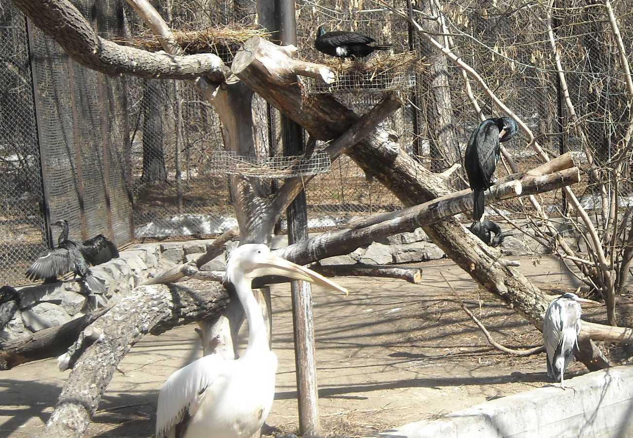 Баклан большой - Phalacrocorax carbo  (фото 8203)