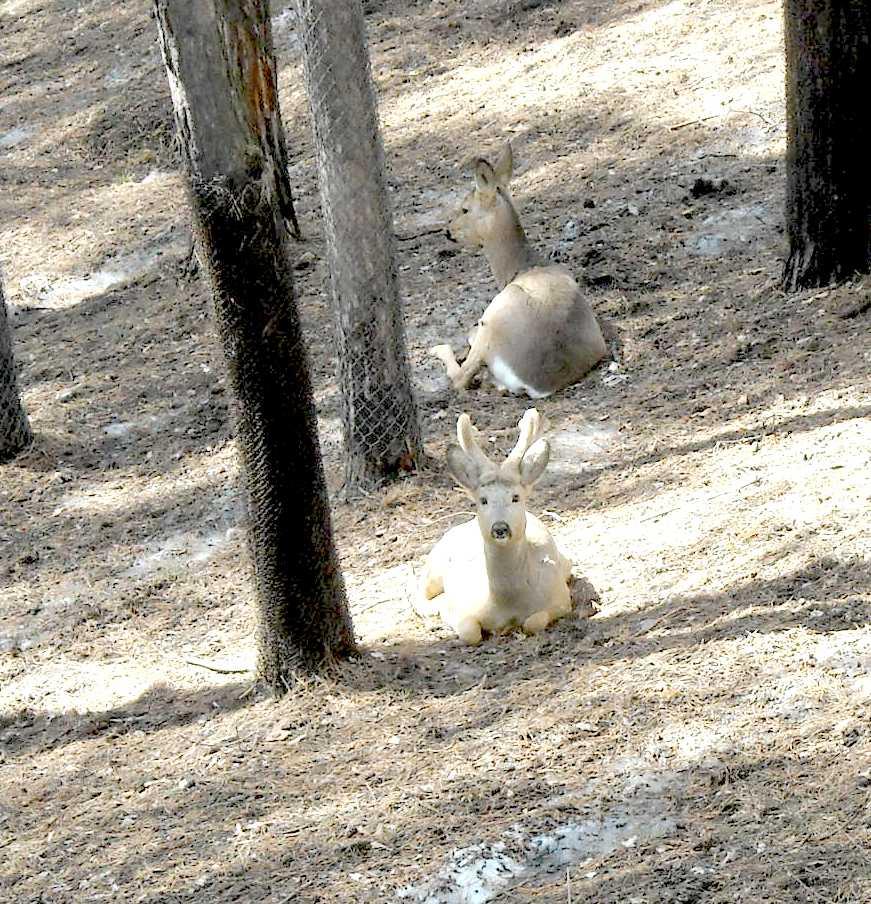 Сибирская косуля - Capreolus (capreolus) pygargus  (фото 8210)
