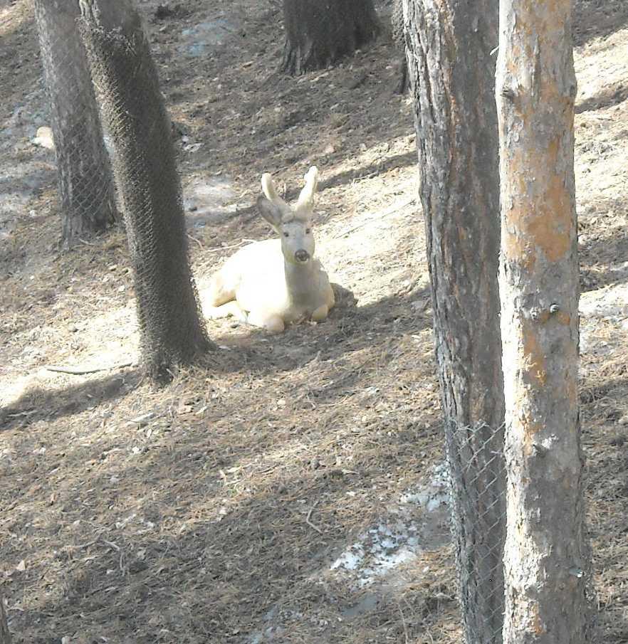 Сибирская косуля - Capreolus (capreolus) pygargus  (фото 8211)