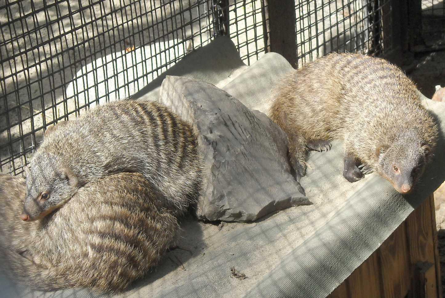 Полосатый мангуст - Mungos mungo  (фото 8344)