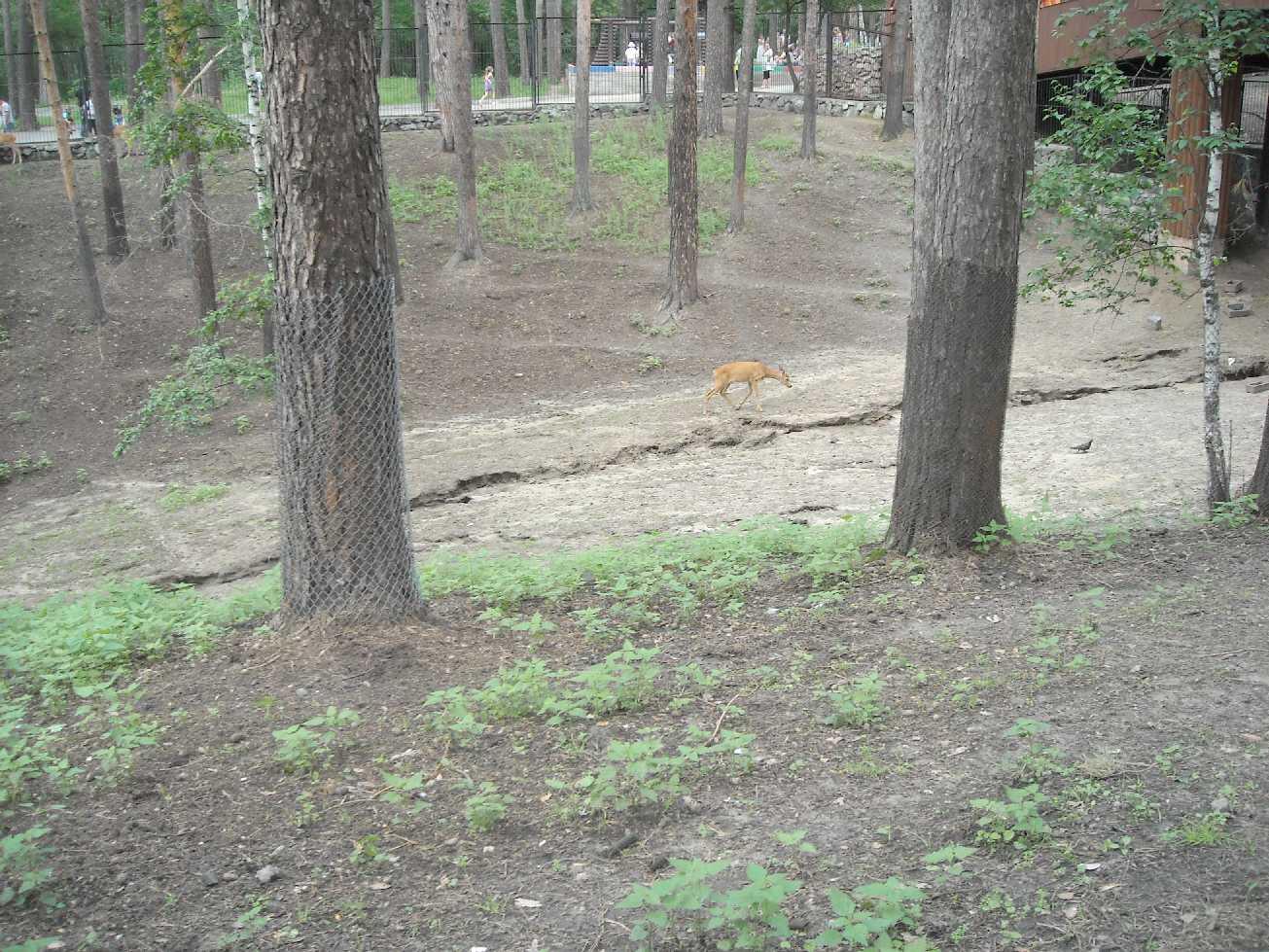 Сибирская косуля - Capreolus (capreolus) pygargus  (фото 8373)