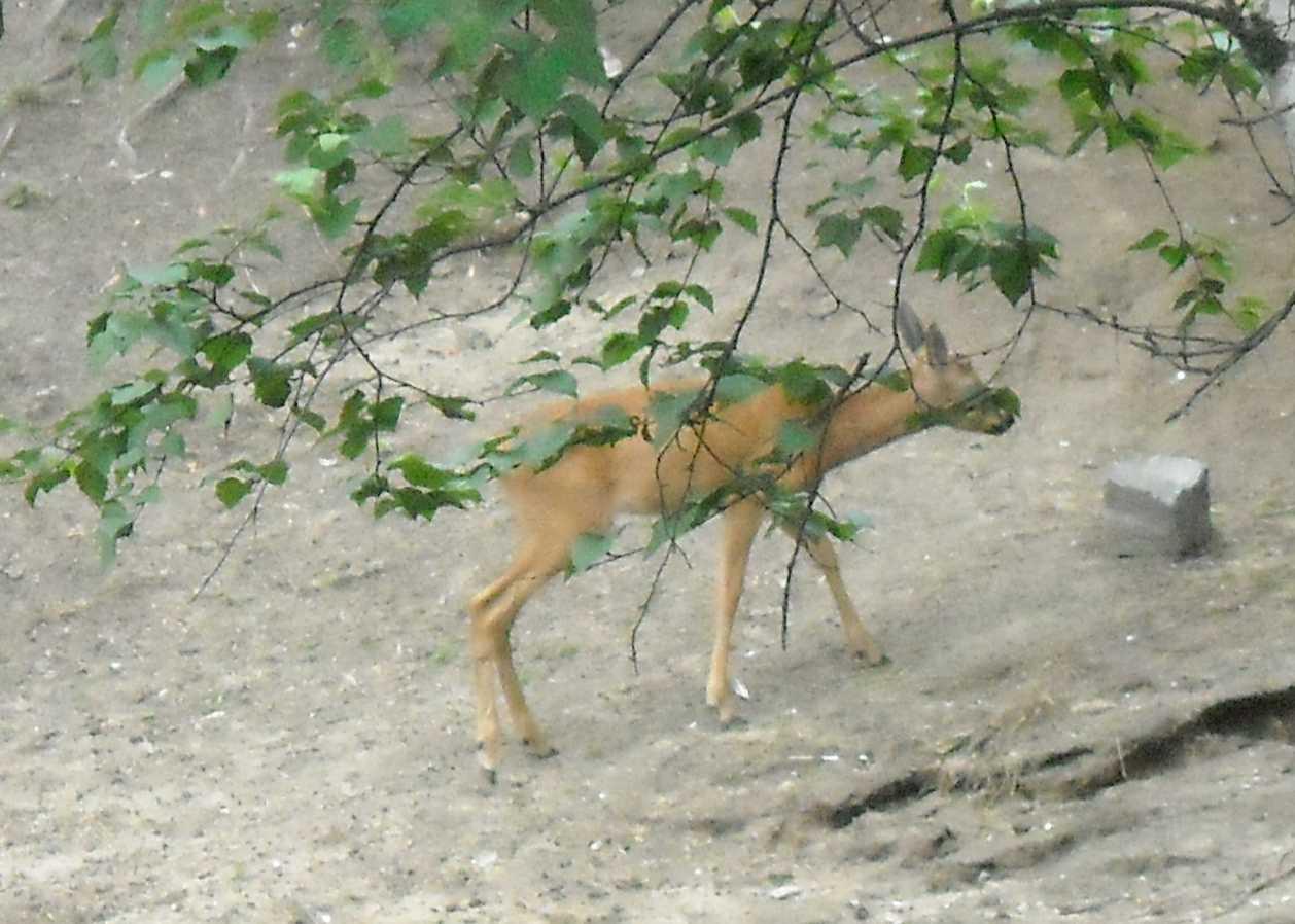 Сибирская косуля - Capreolus (capreolus) pygargus  (фото 8374)