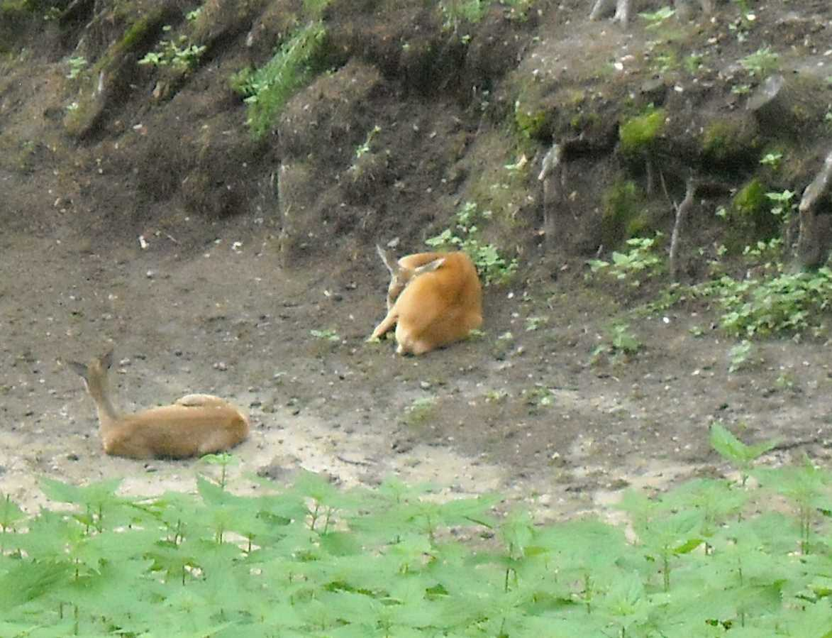 Сибирская косуля - Capreolus (capreolus) pygargus  (фото 8375)