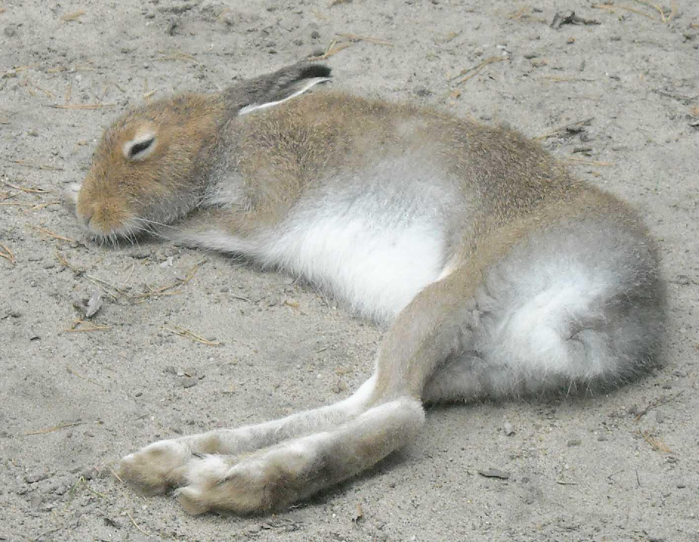 Заяц-беляк - Lepus timidus  (фото 8387)