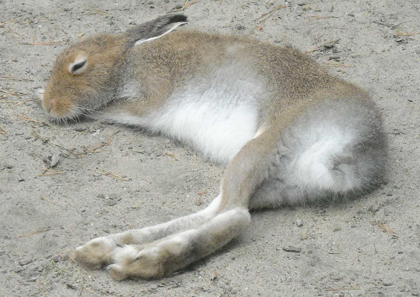 Заяц-беляк - Lepus timidus  (фото 8388)