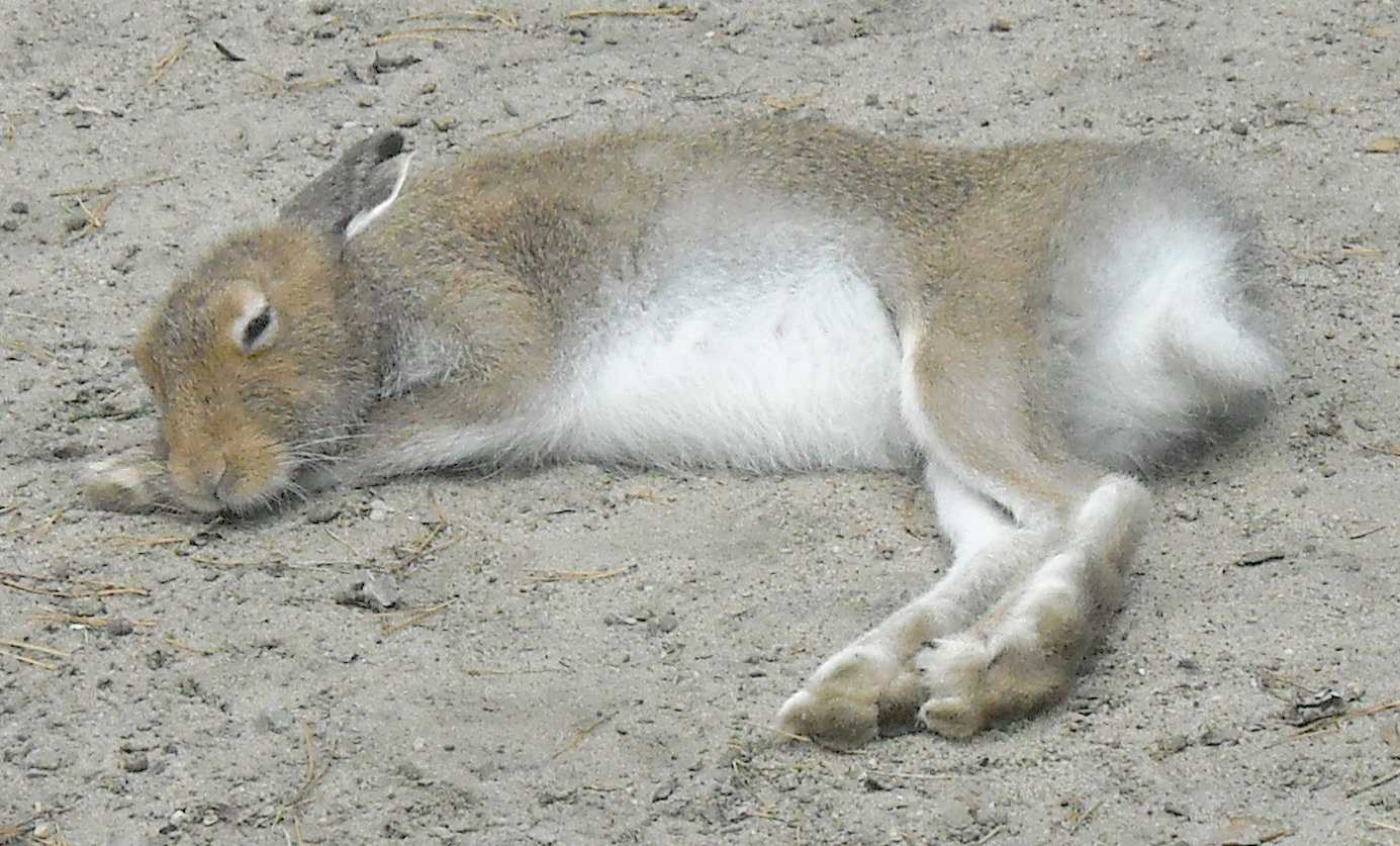 Заяц-беляк - Lepus timidus  (фото 8390)