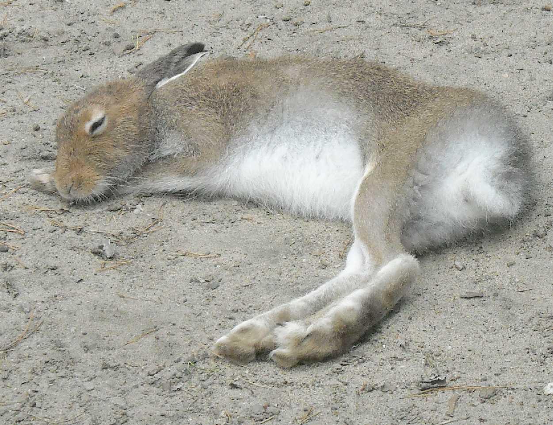 Заяц-беляк - Lepus timidus  (фото 8391)