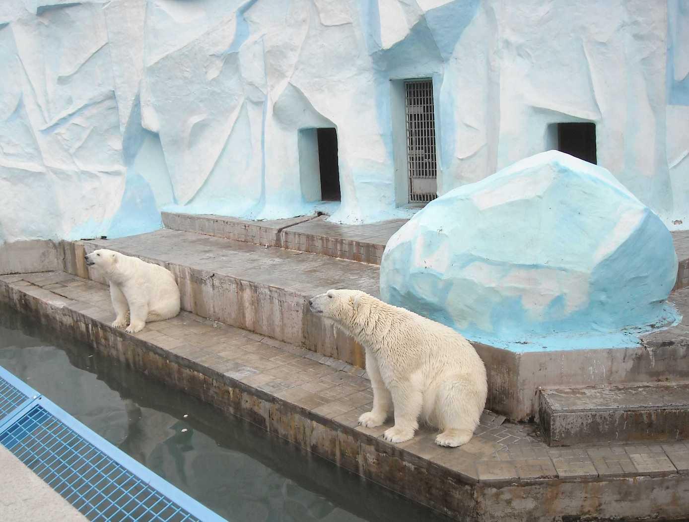 Белый медведь - Ursus maritimus  (фото 8526)