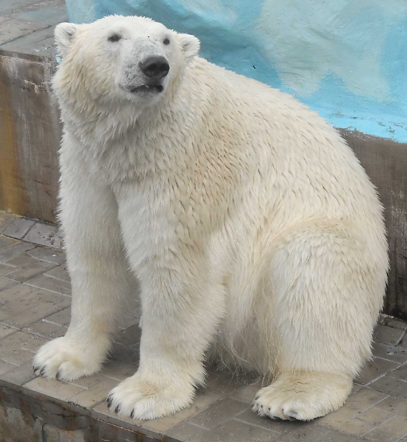 Белый медведь - Ursus maritimus  (фото 8527)