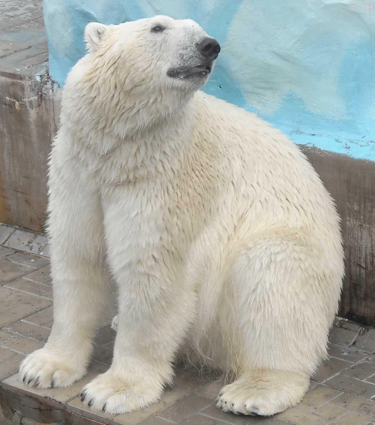 Белый медведь - Ursus maritimus  (фото 8528)
